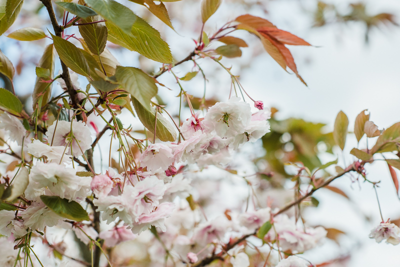 blossoms-spring-Matara